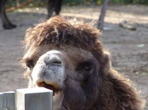 A cute camel at the Copenhagen zoo. I swear he was watching me.